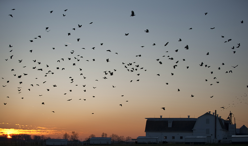 A flock of birds in the sky with a red and yellow sunset in the background. In the left hand side of the picture there is a white barn and trees along the fence line.