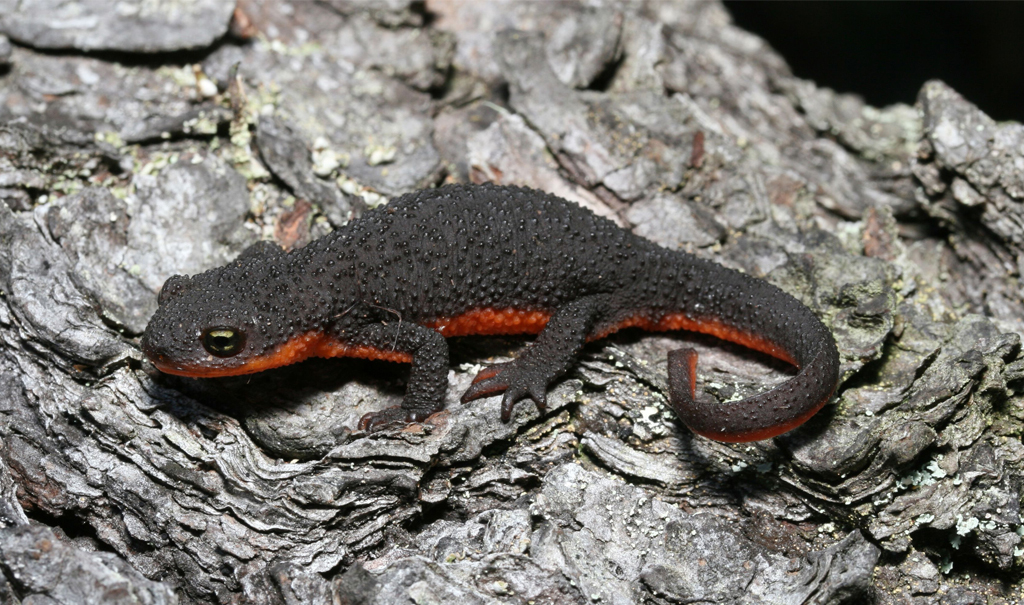 A dark gray and orange Newt on tree brick.